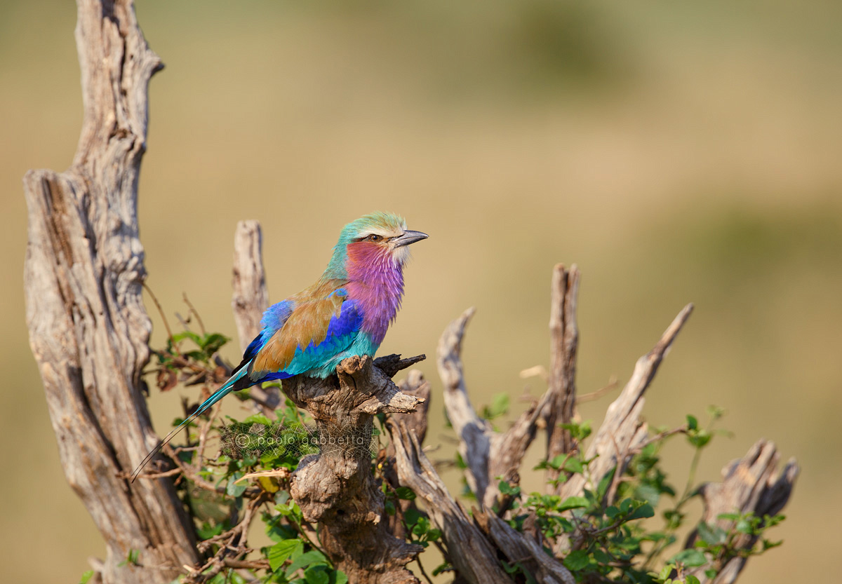 Lilac-breasted Roller...