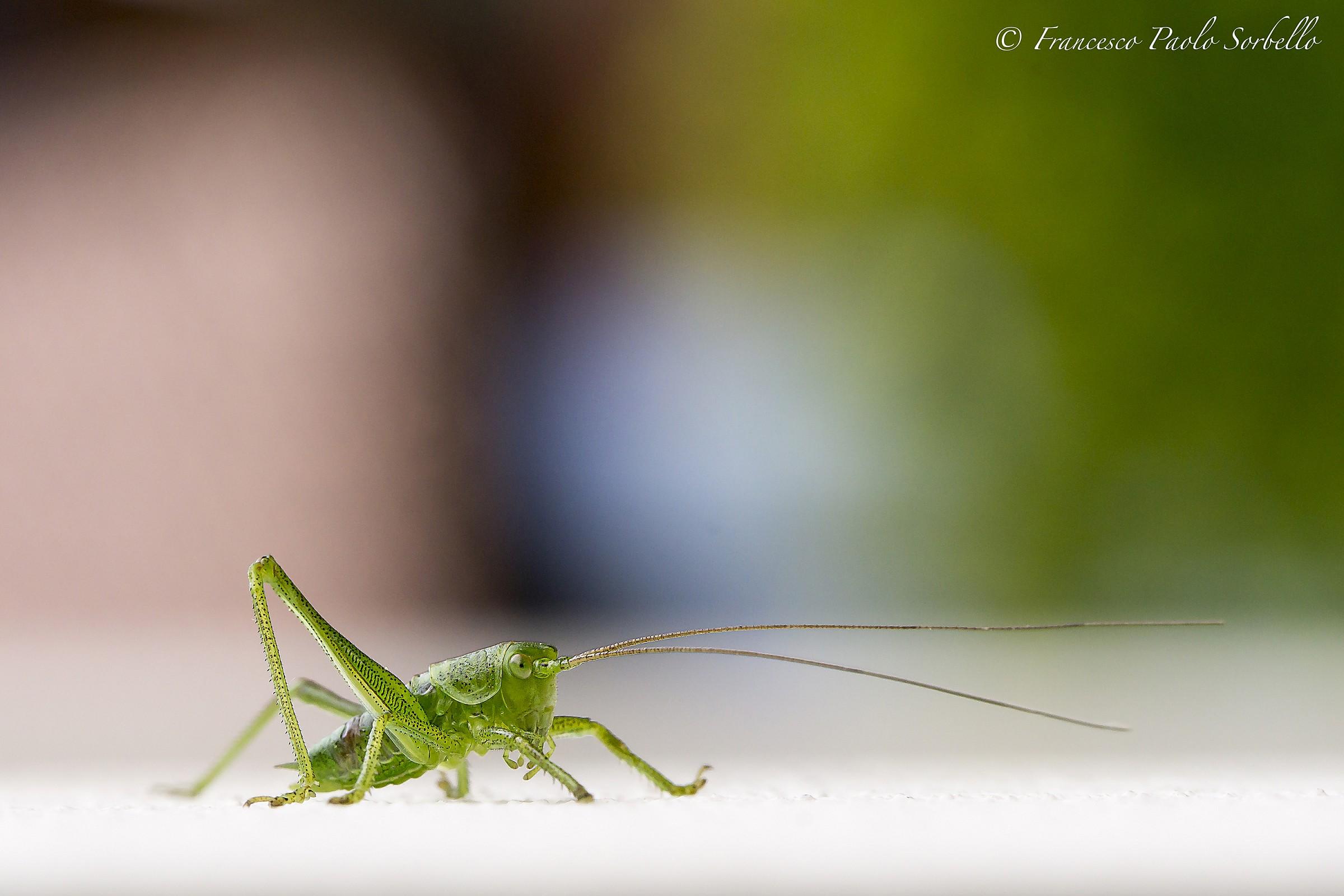 cricket green...