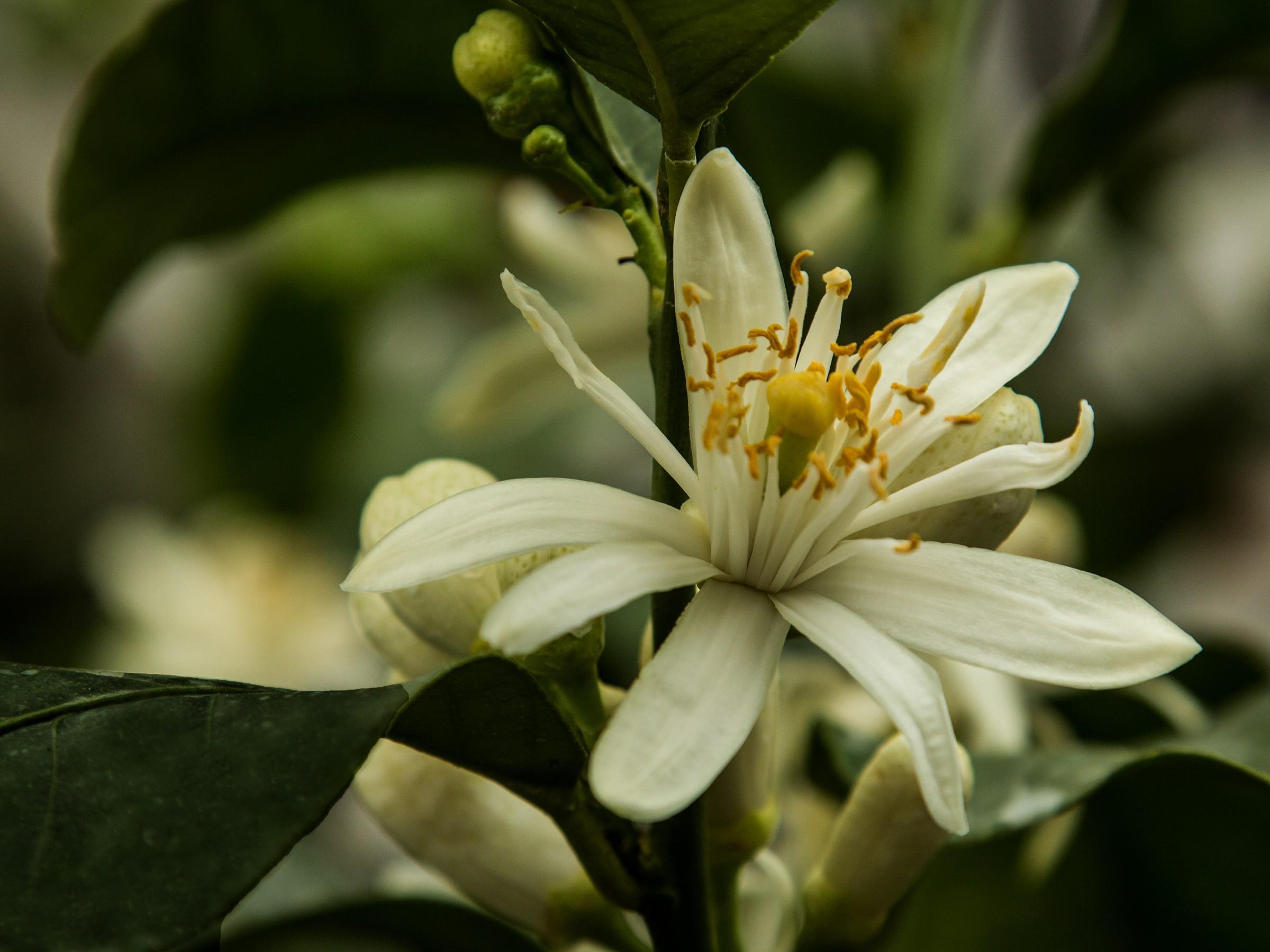 the lemon flower...