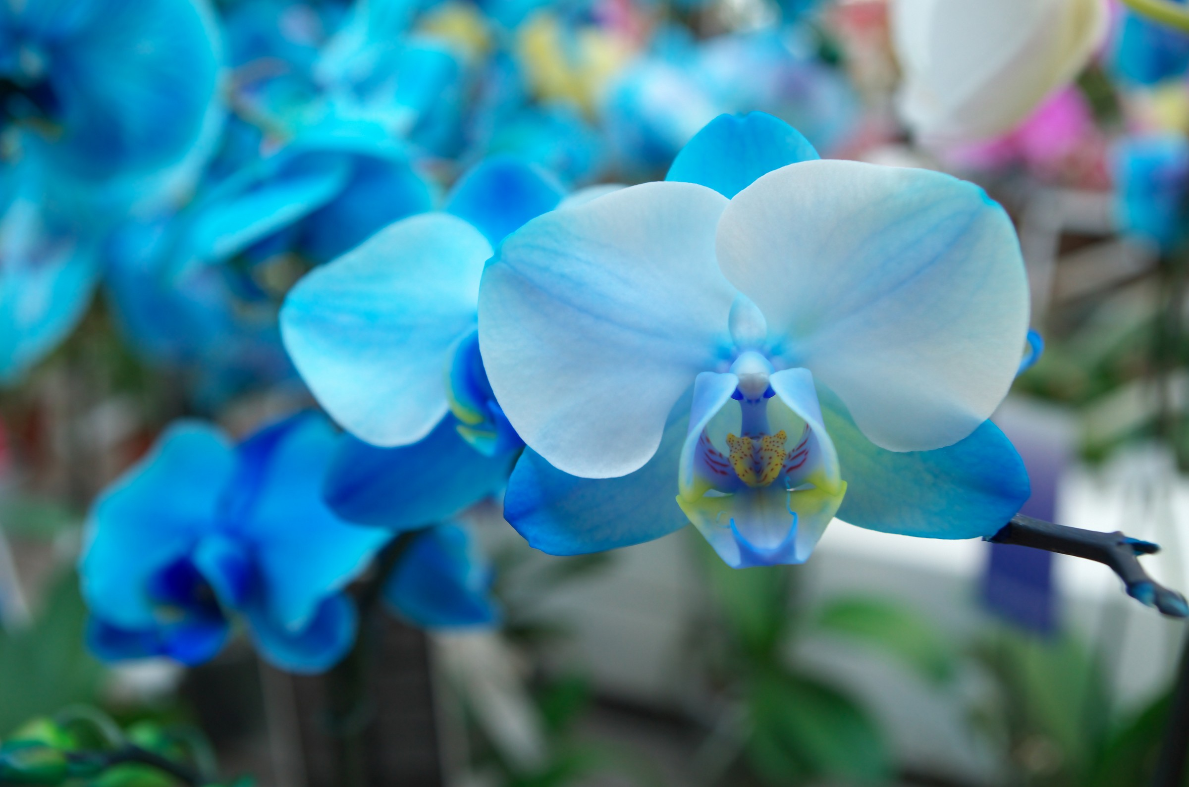 Blue orchids...