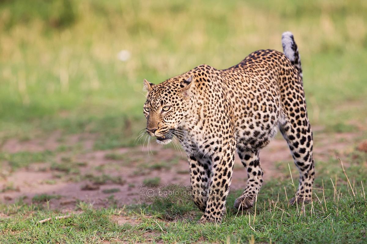 Leopard...