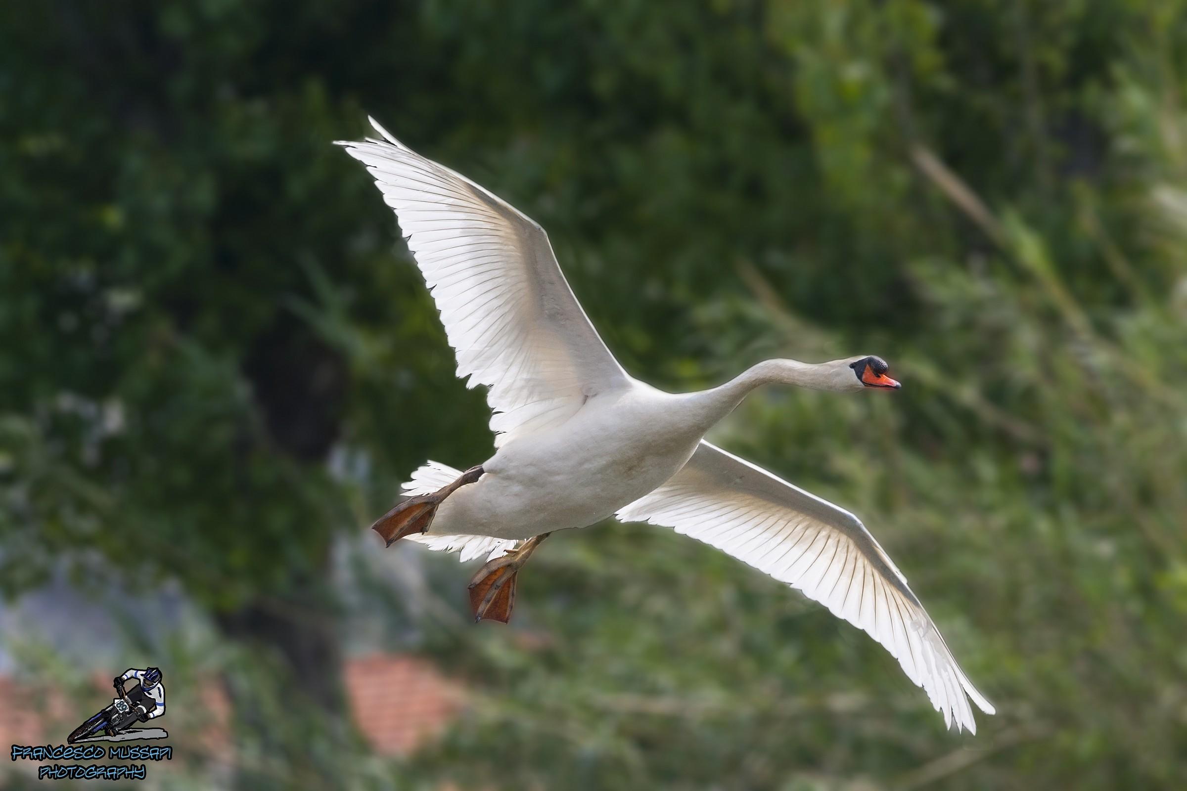 Swan in flight...