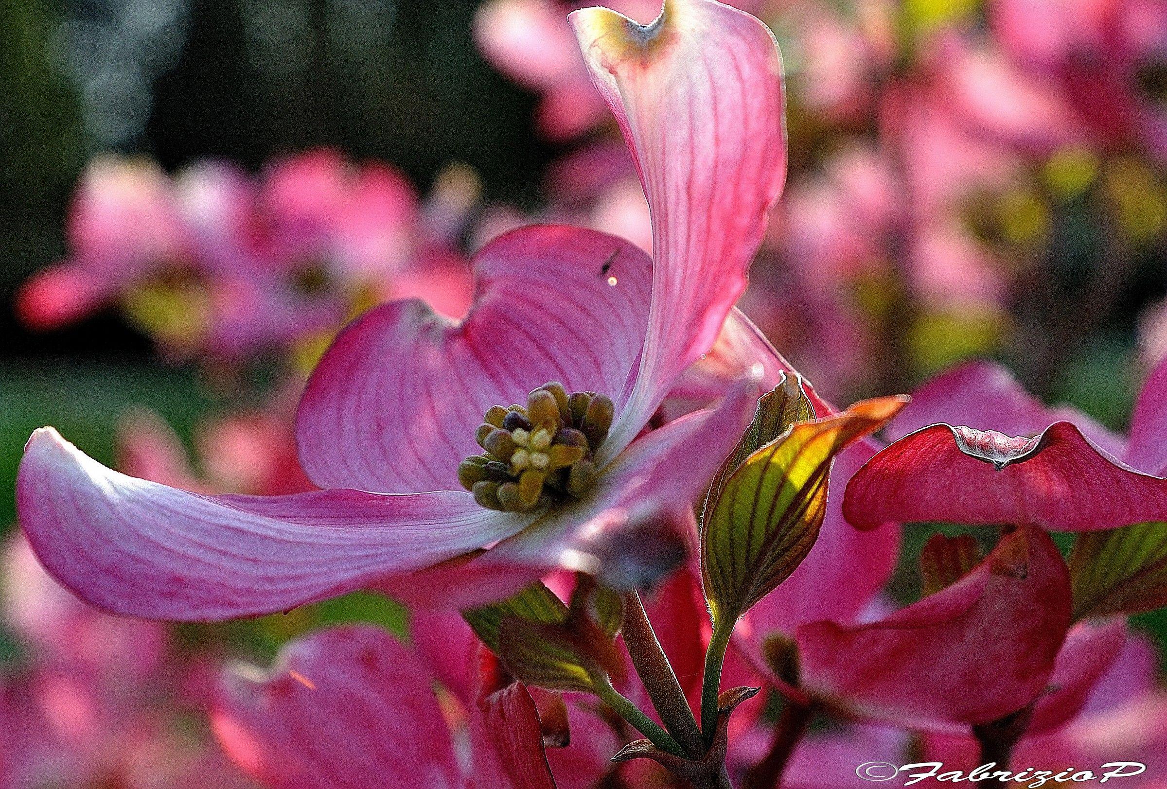 Petals ... in flight...