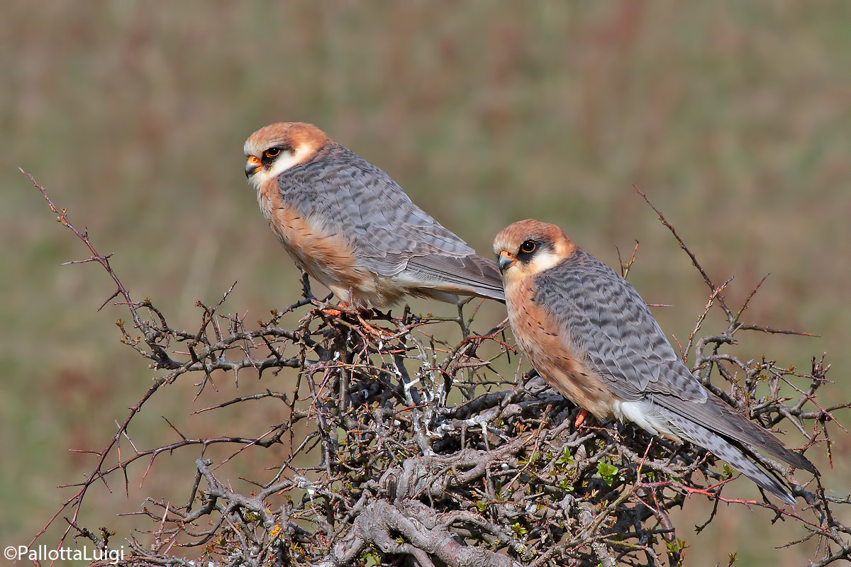 Red-footed falcon (Falco vespertinus)...