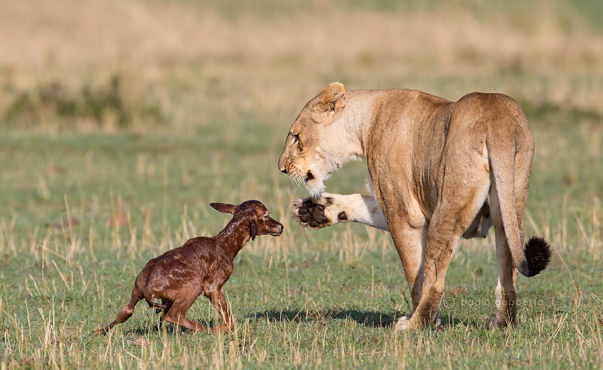 Lioness and small Topi...