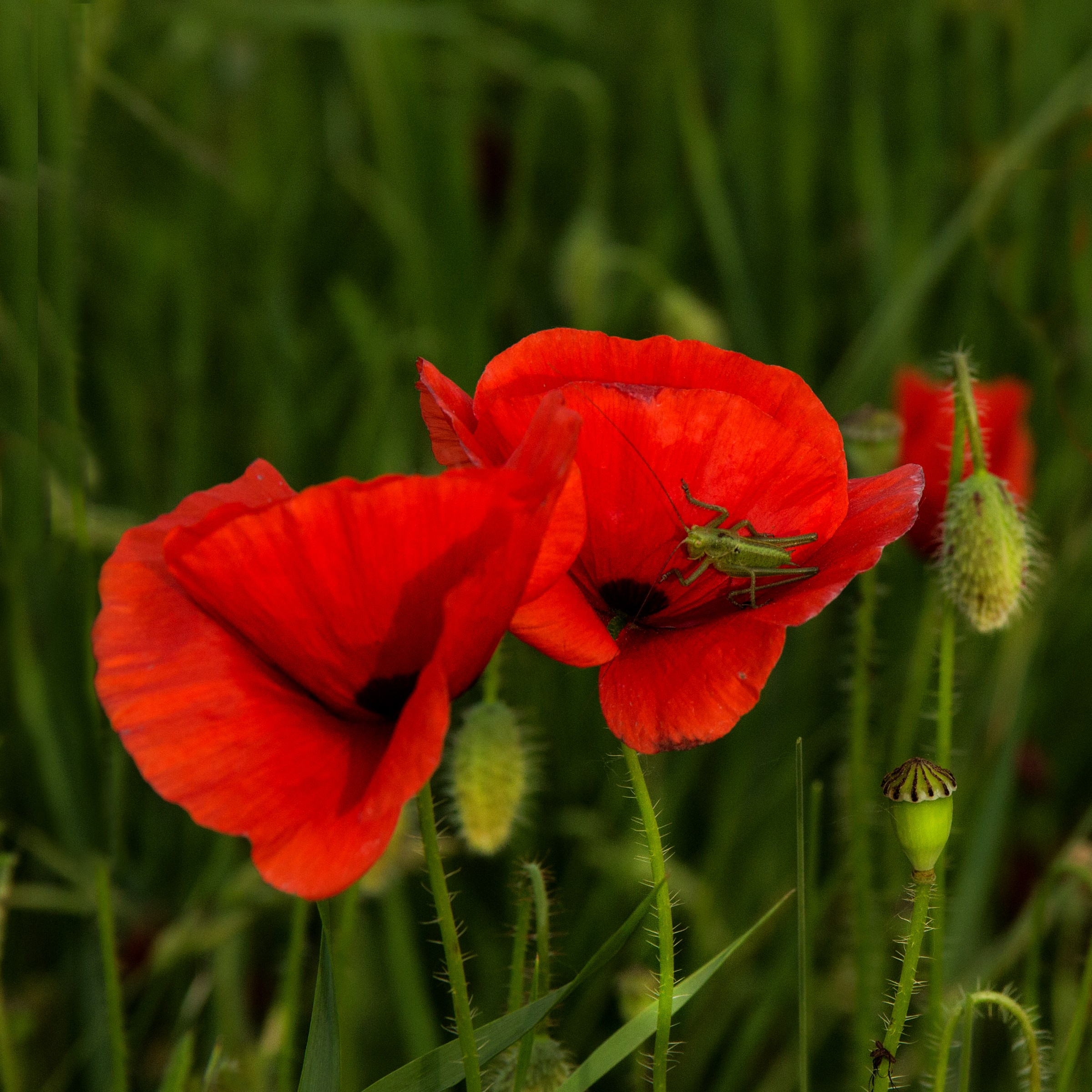 Time of poppies...