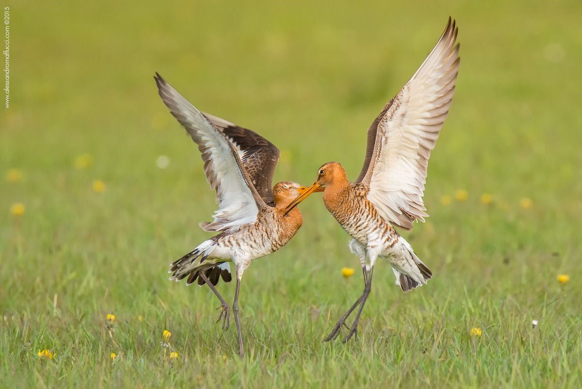 Pair of black-tailed godwits...