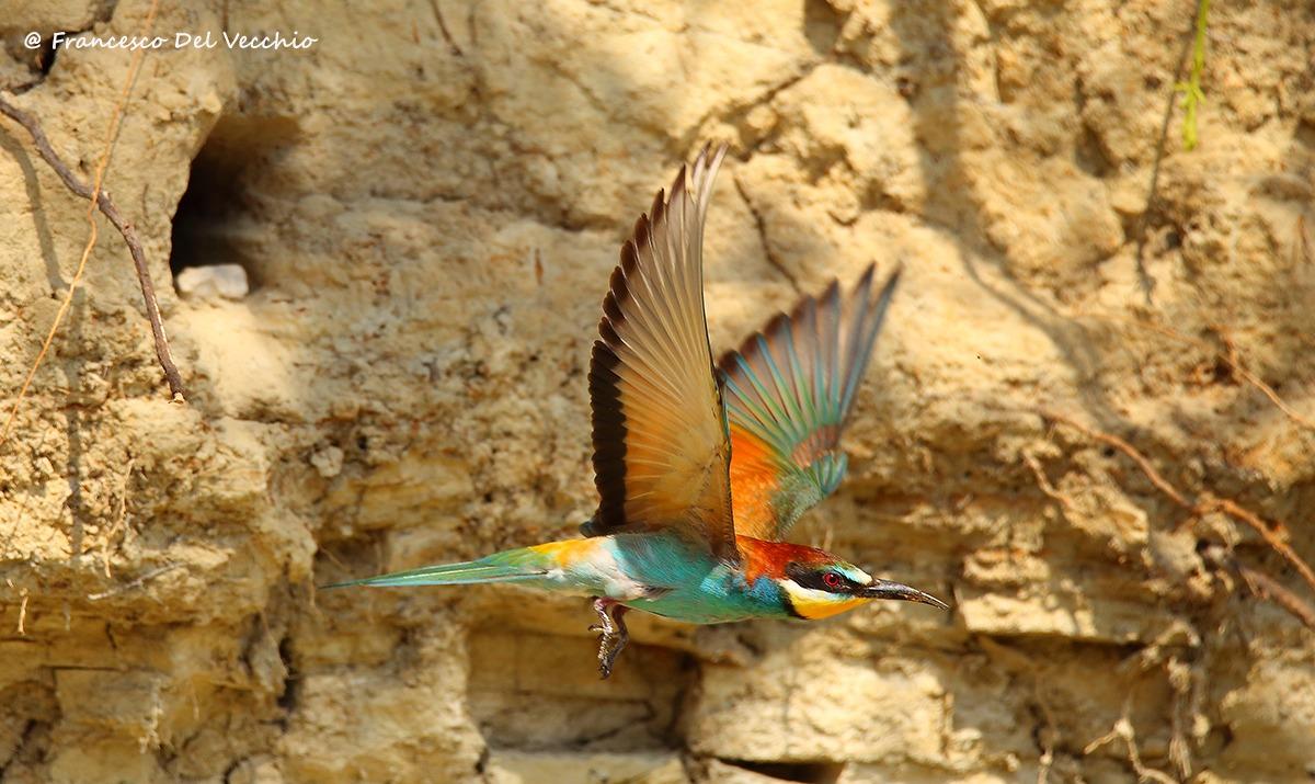 6d + Tamron 150-600 of bee-eater in flight...