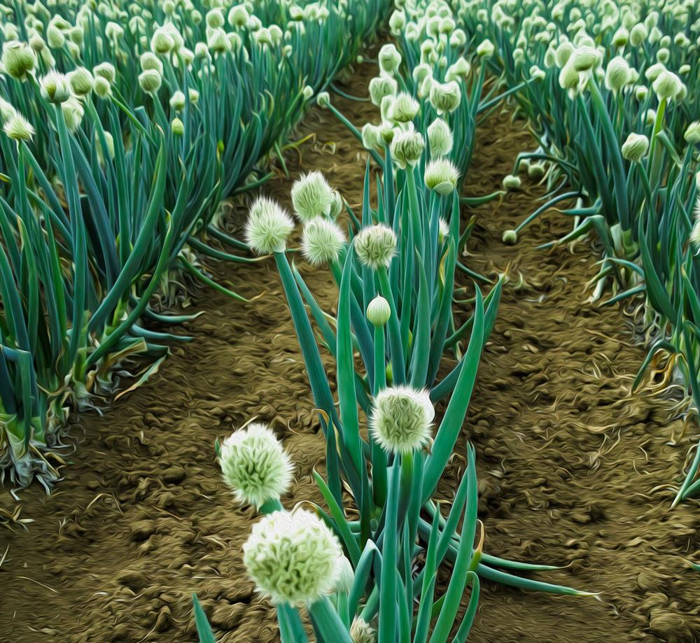 onions...