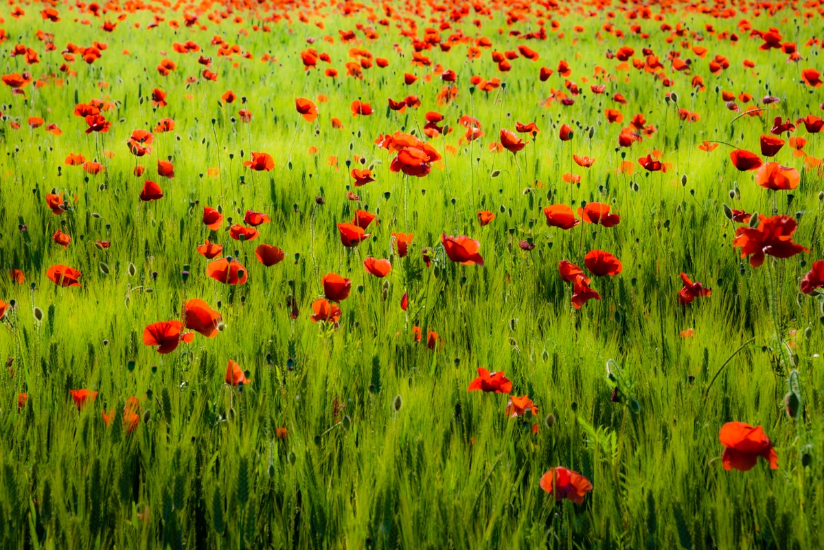 A thousand red poppies...