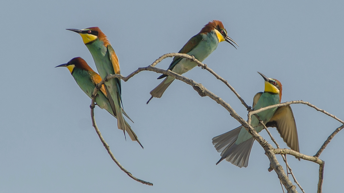 Bee-eaters...