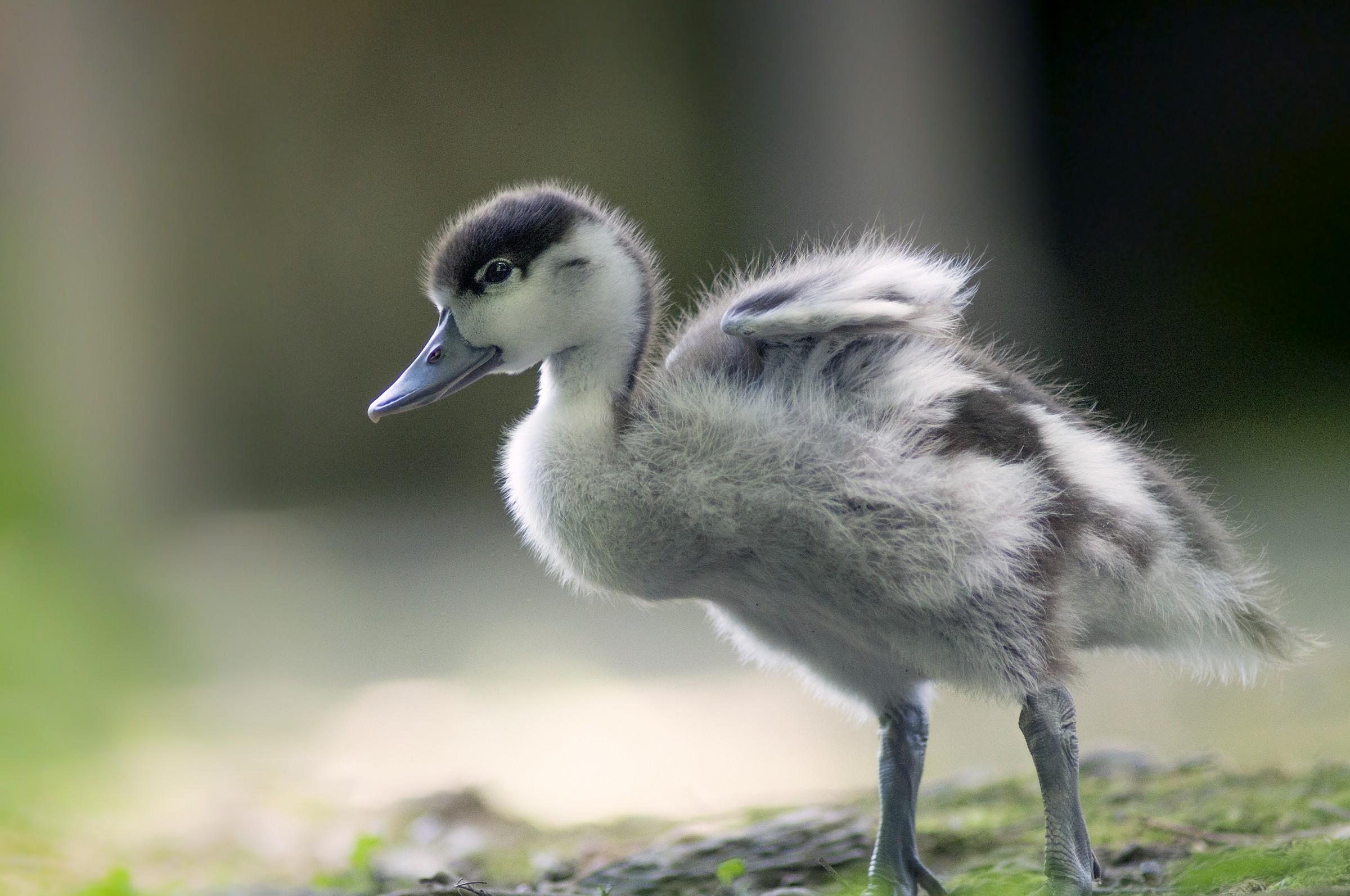 Chick...
