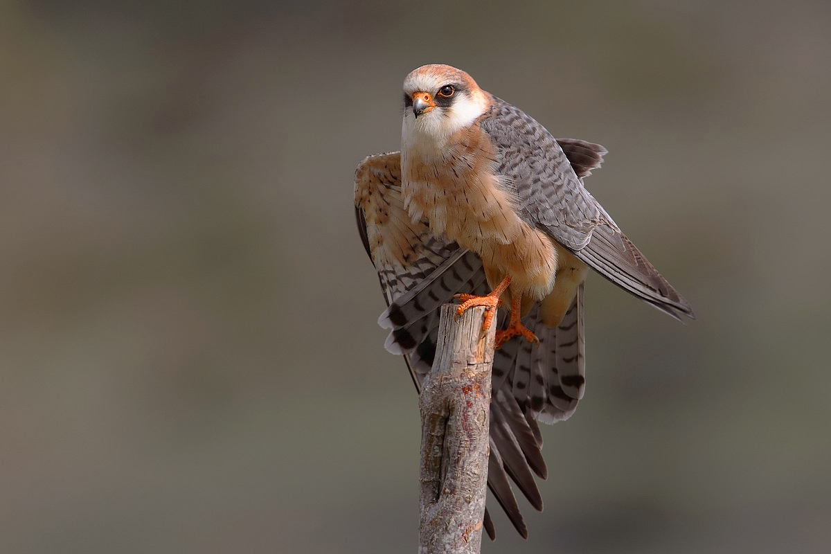 stretching wing paw female red-footed falcon...
