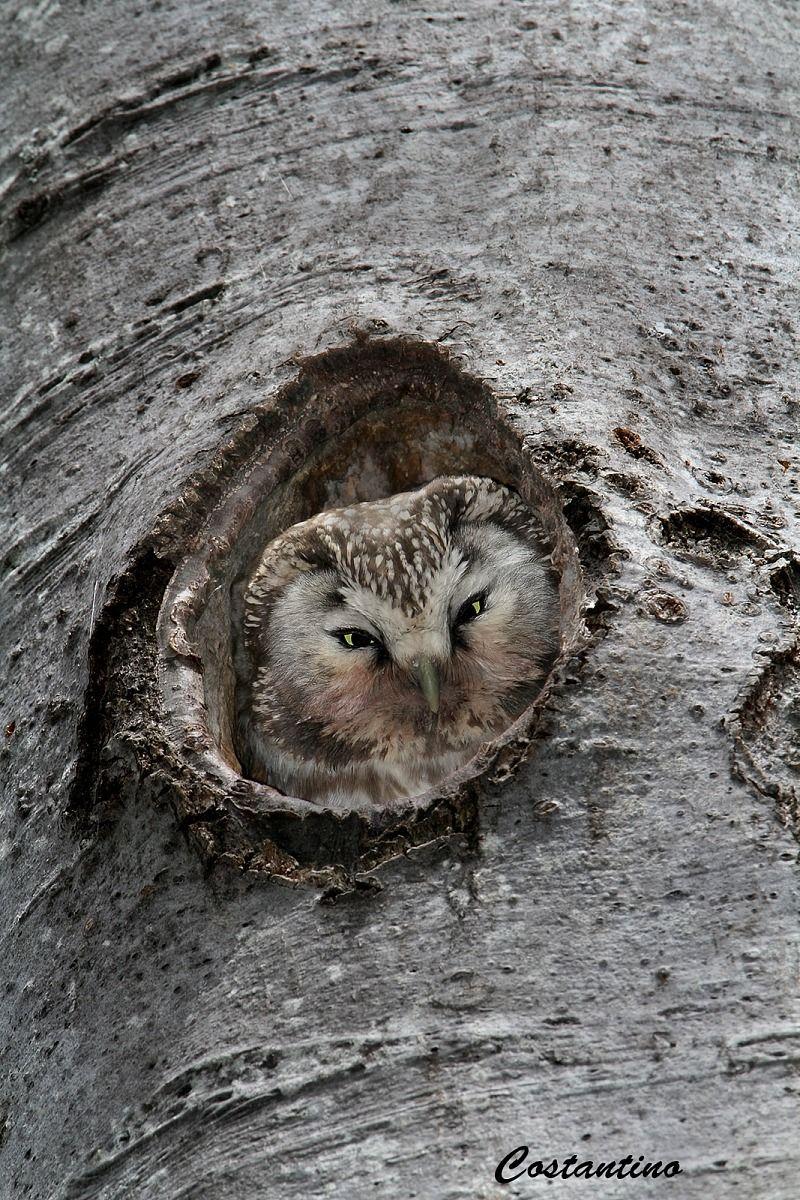 Boreal owl (Aegolius funereus)...