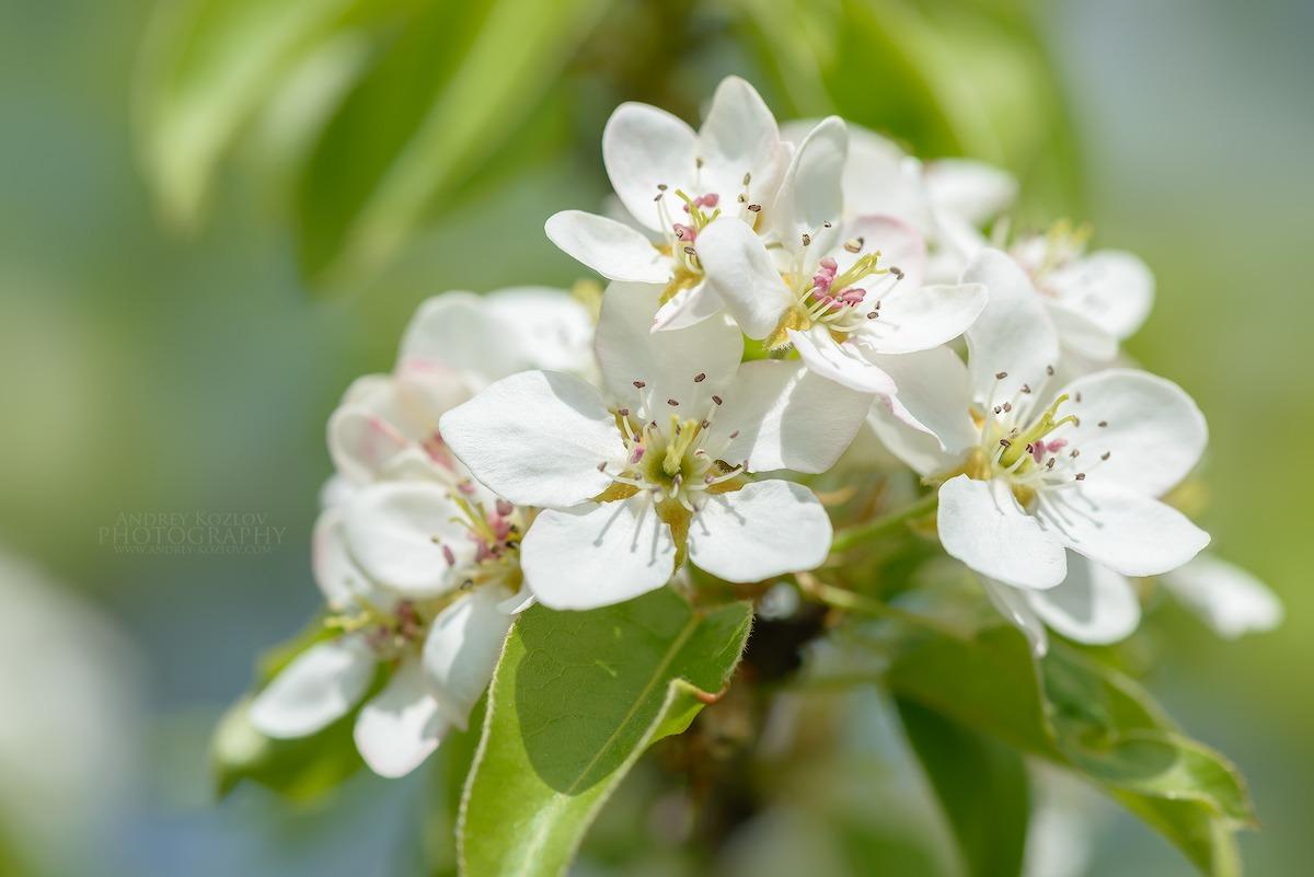 Pear Flowers...