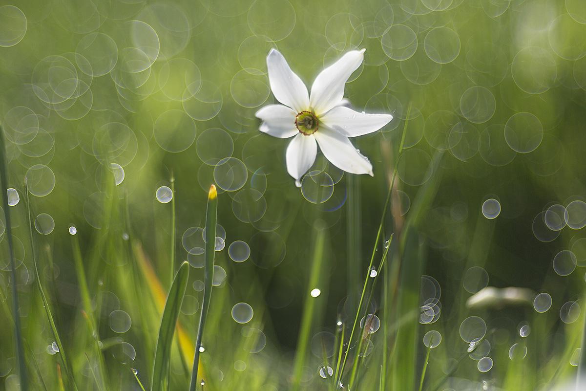 Narcissus Pian di Coltura...