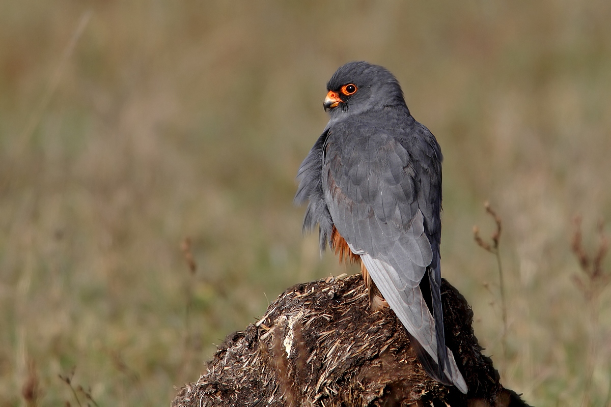 male red-footed falcon...