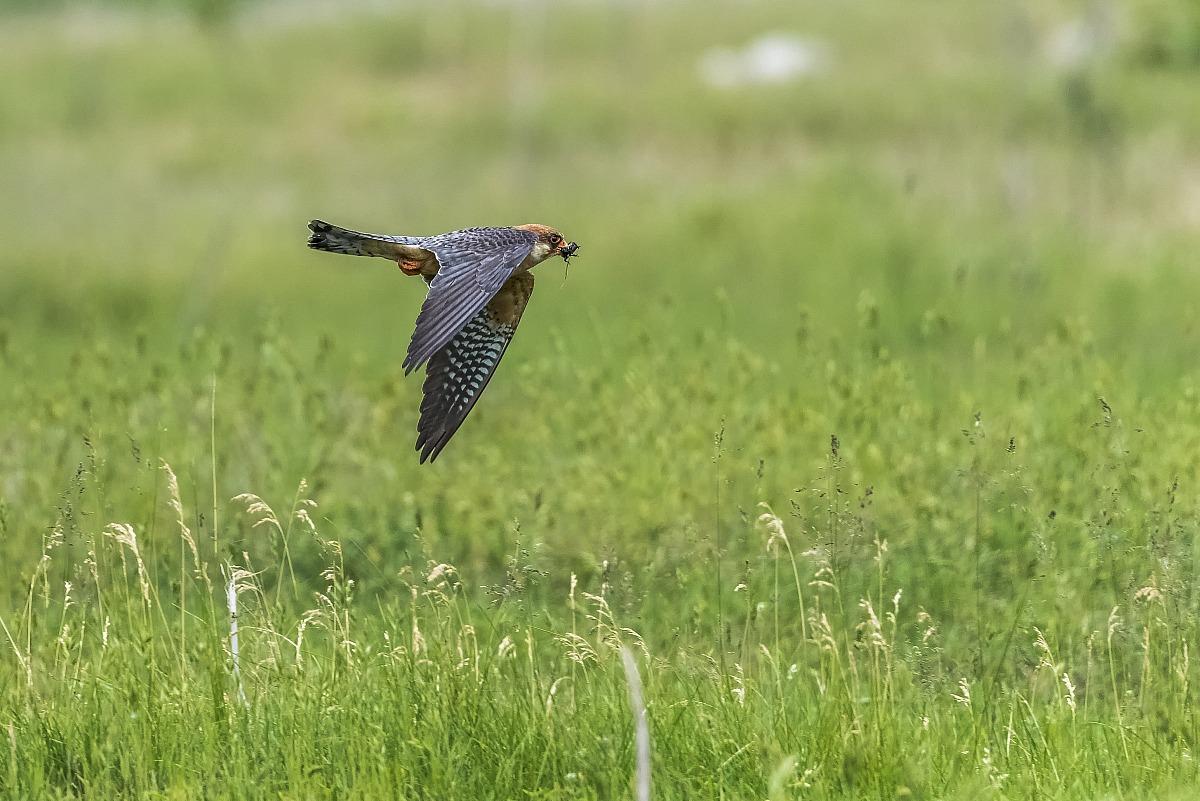 Falco cuculo (femmina) con preda...