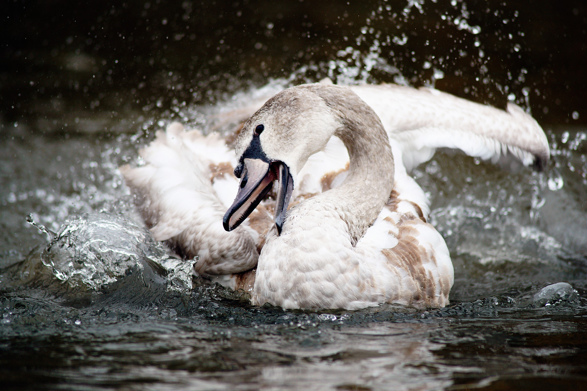 Angry swan...