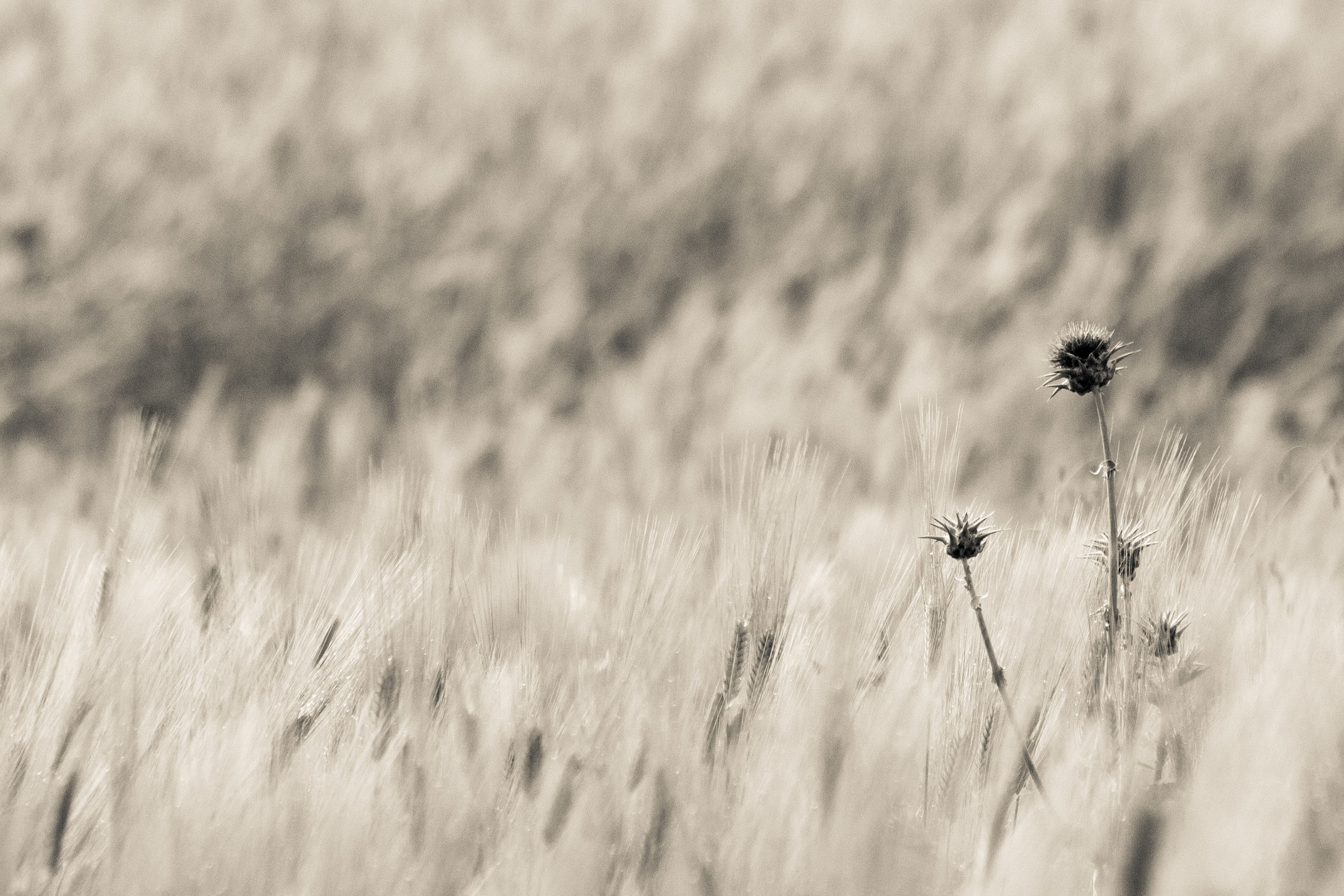 Solitary in the wheat...