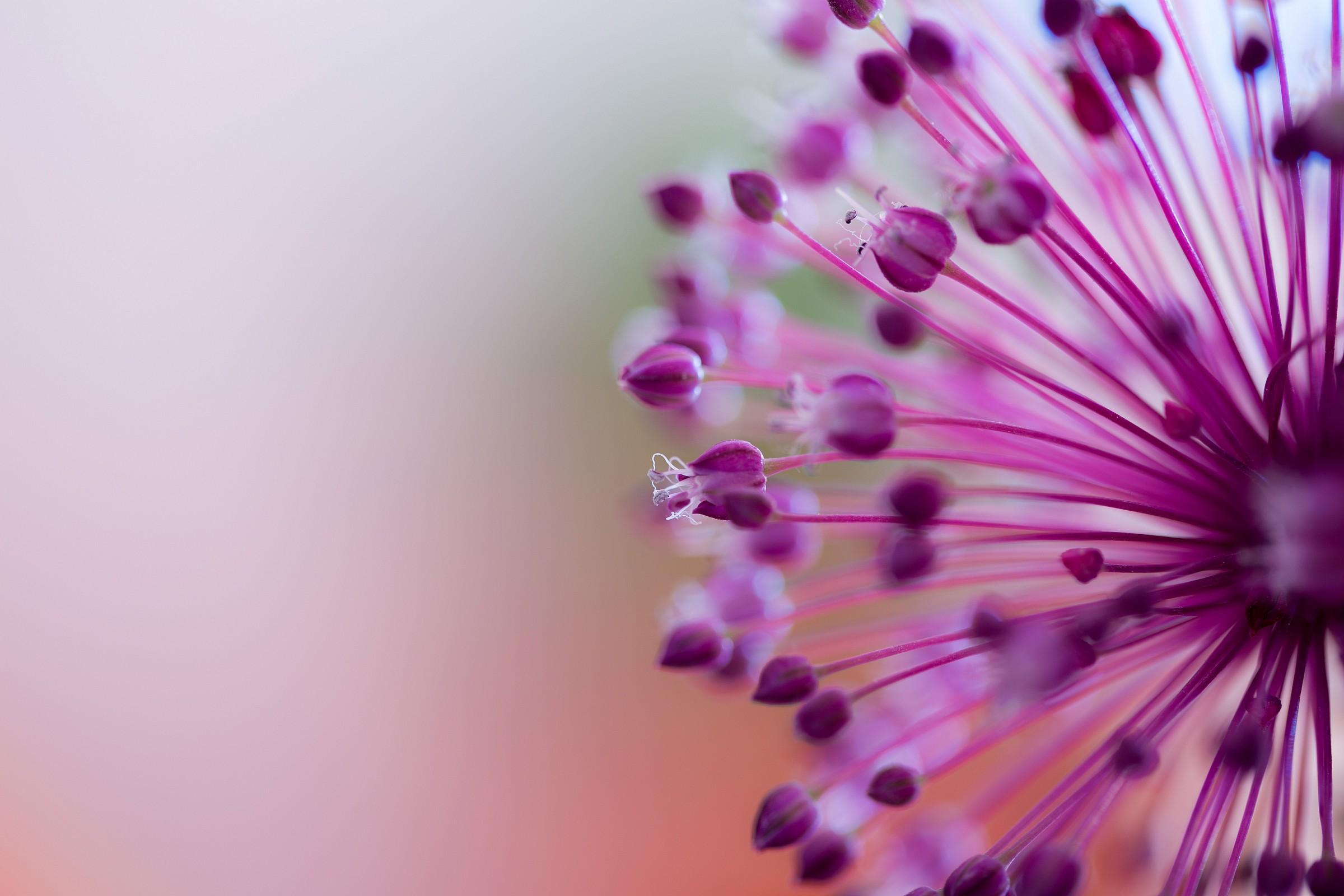 Allium atroviolaceum...