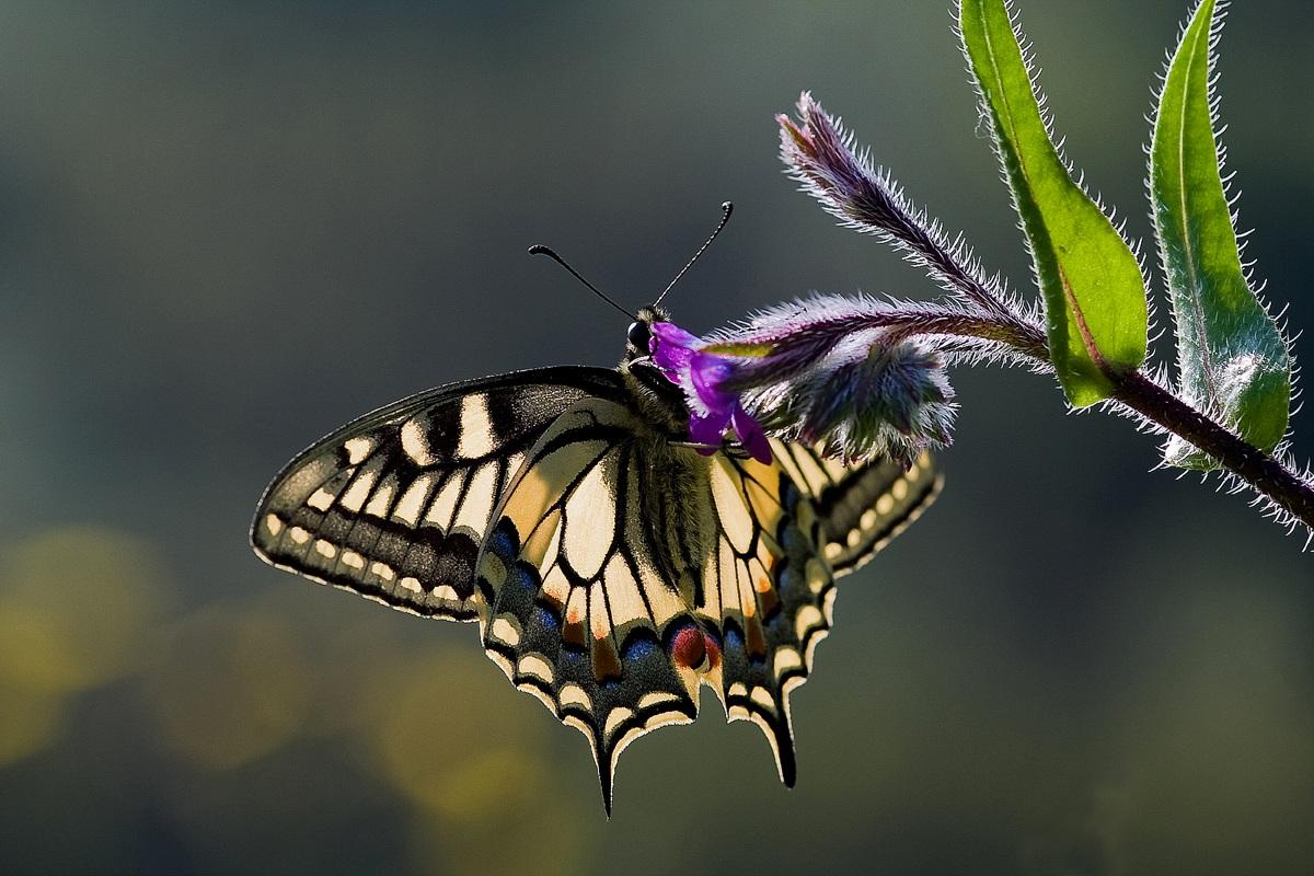 Papilion macaon...