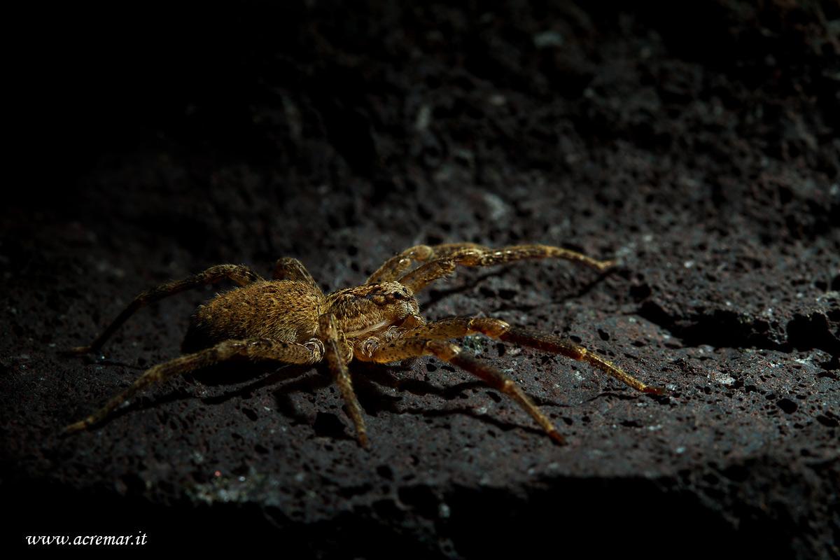 #Arachnida Zoropsis spinimana...