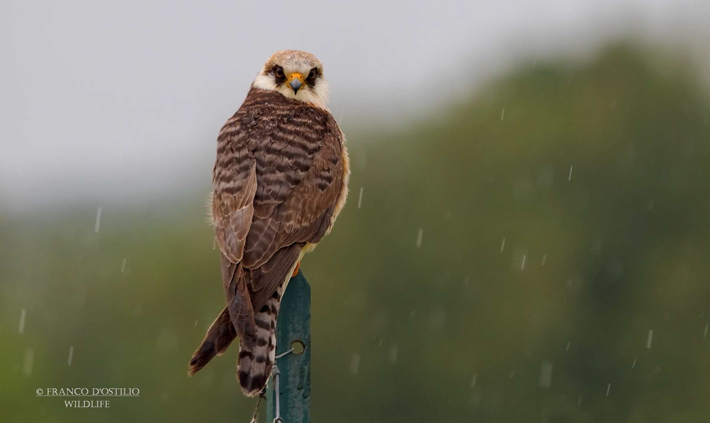 In the rain ..... footed falcon young....