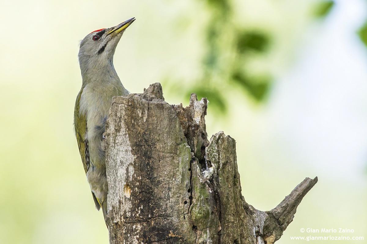 Grey-headed woodpecker / Woodpecker...