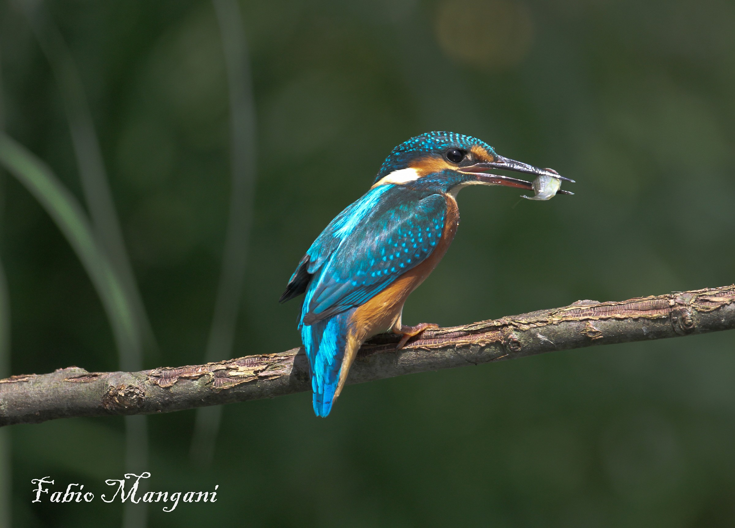 Kingfisher with prey...