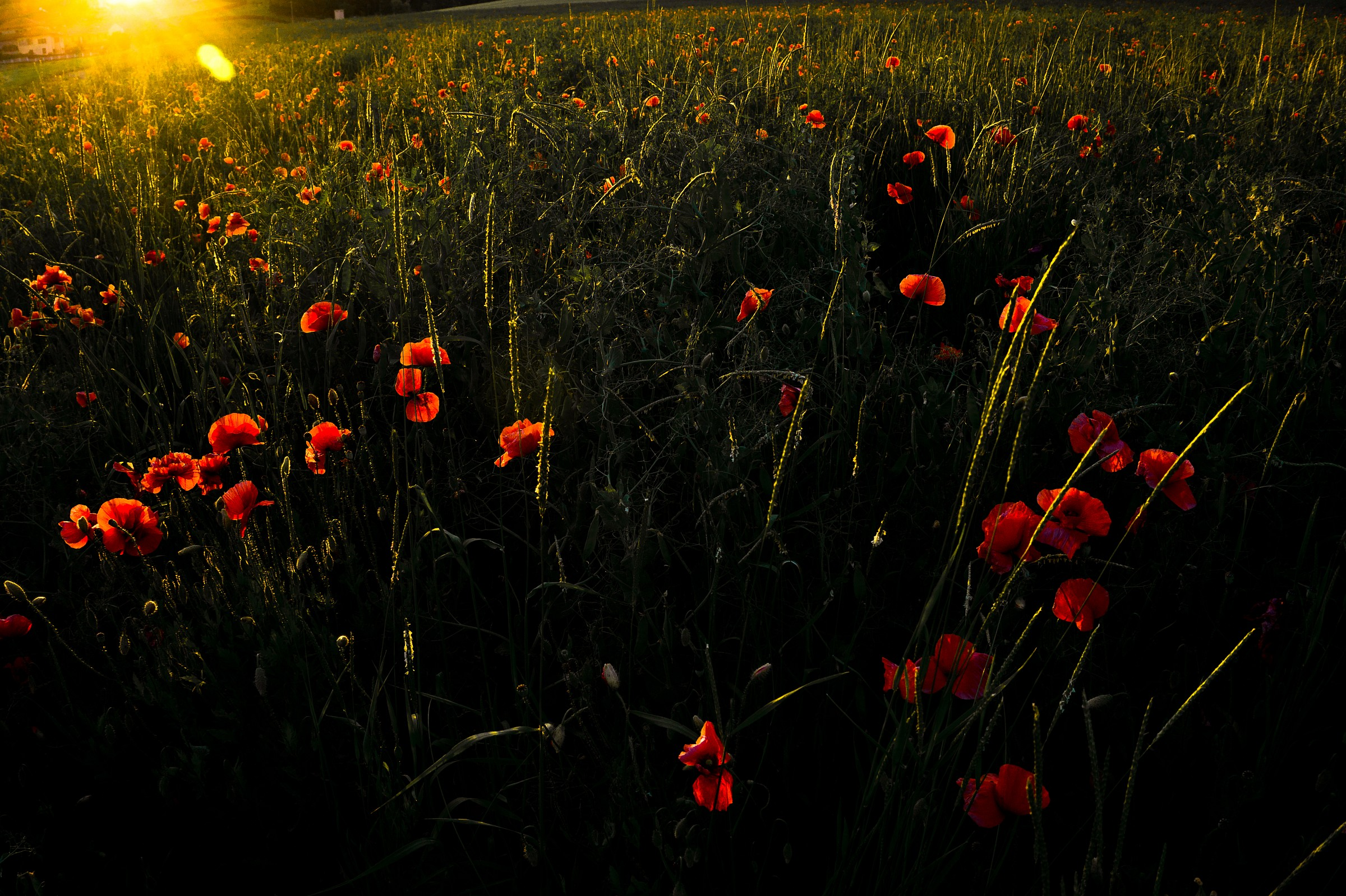 1000 red poppies...