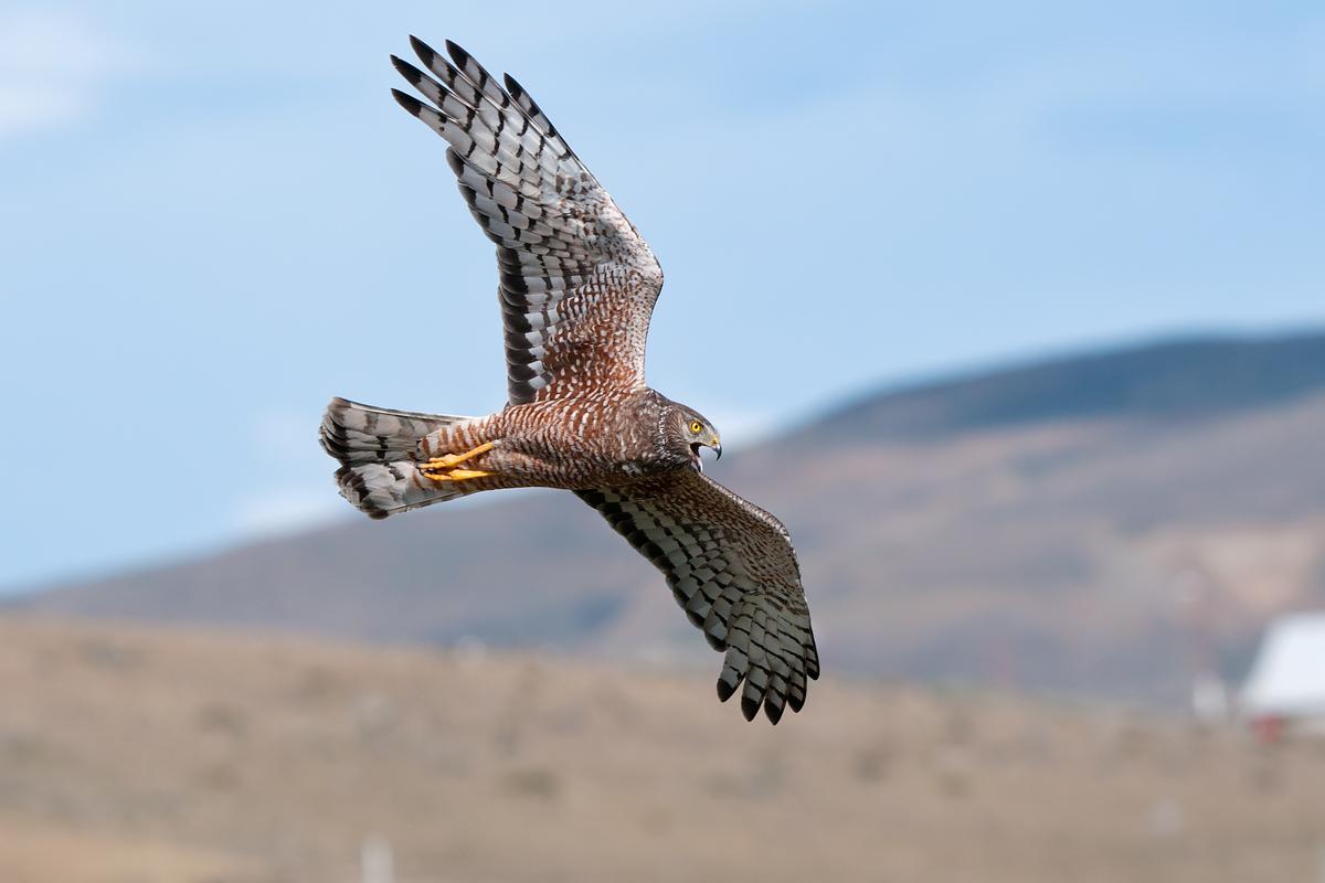 Harrier cinerea in flight...