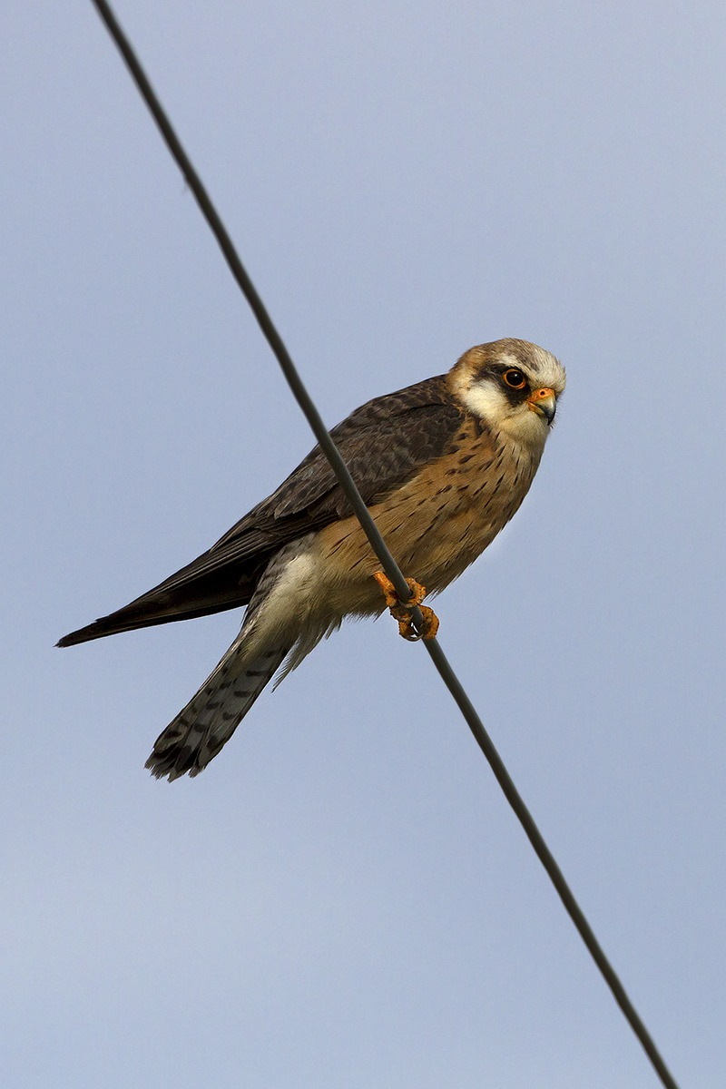 Red-footed falcon female...