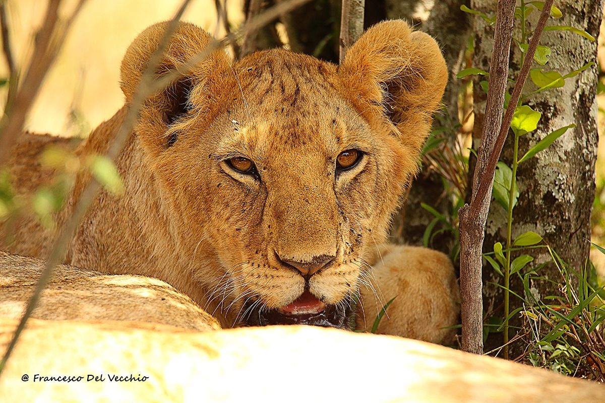 Young male lion group Rongai...