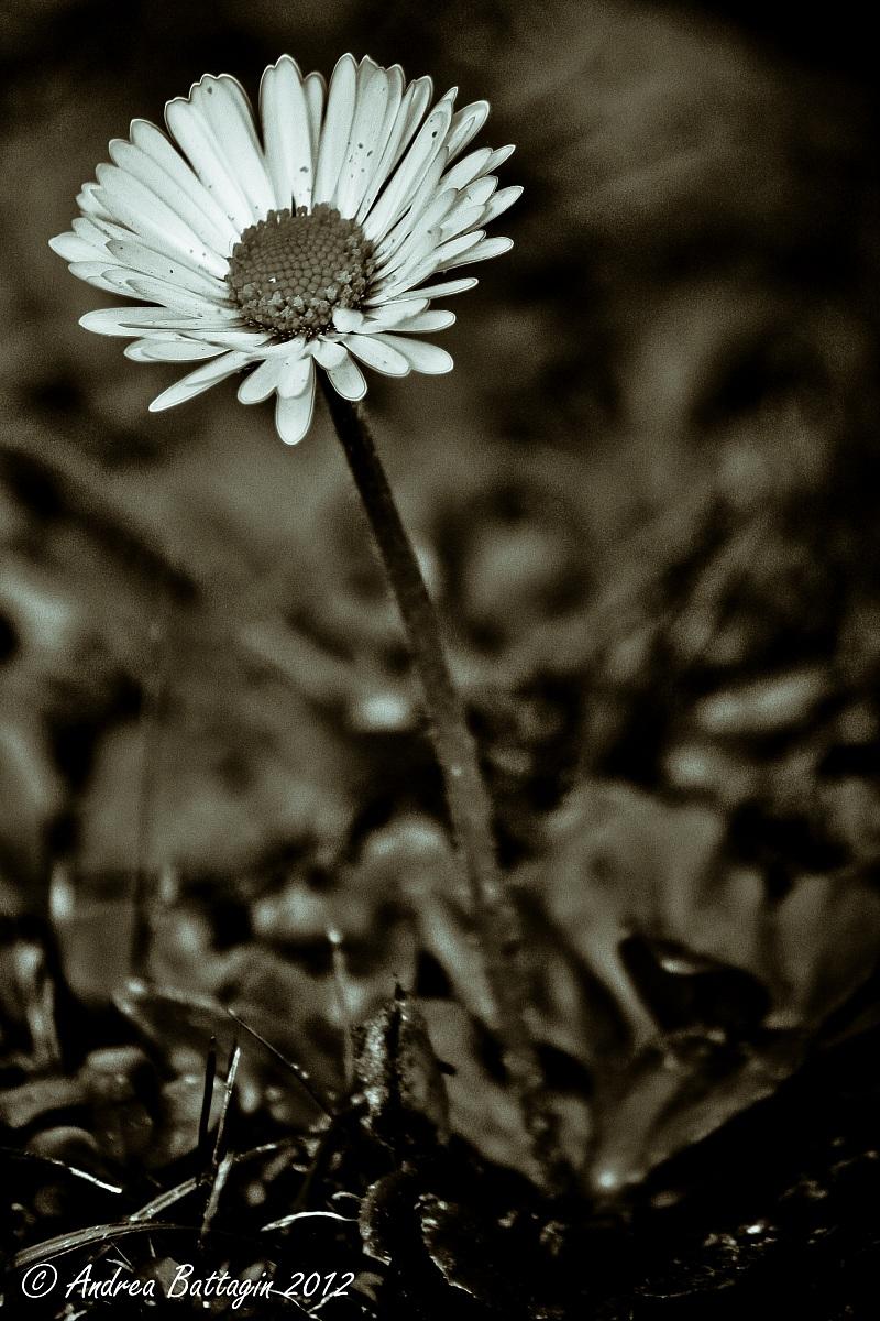 Daisy black & white...