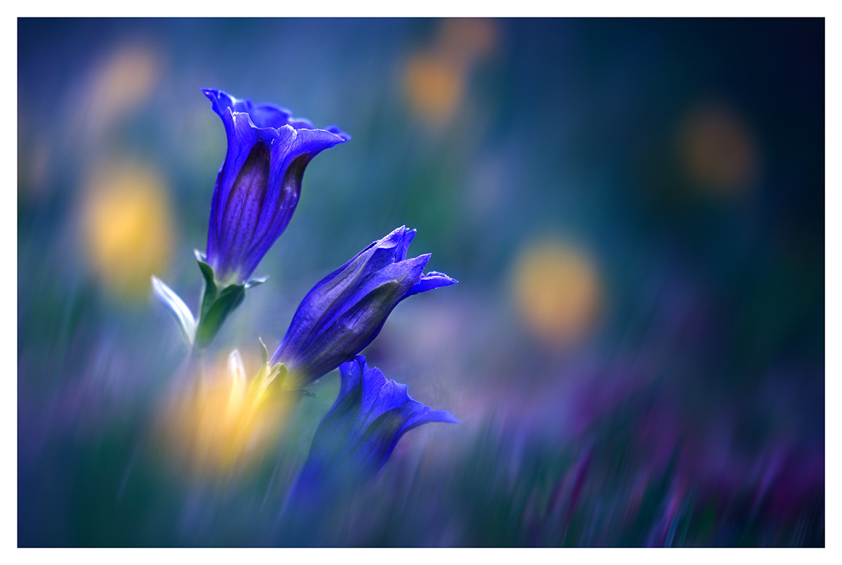 Gentians in dream...