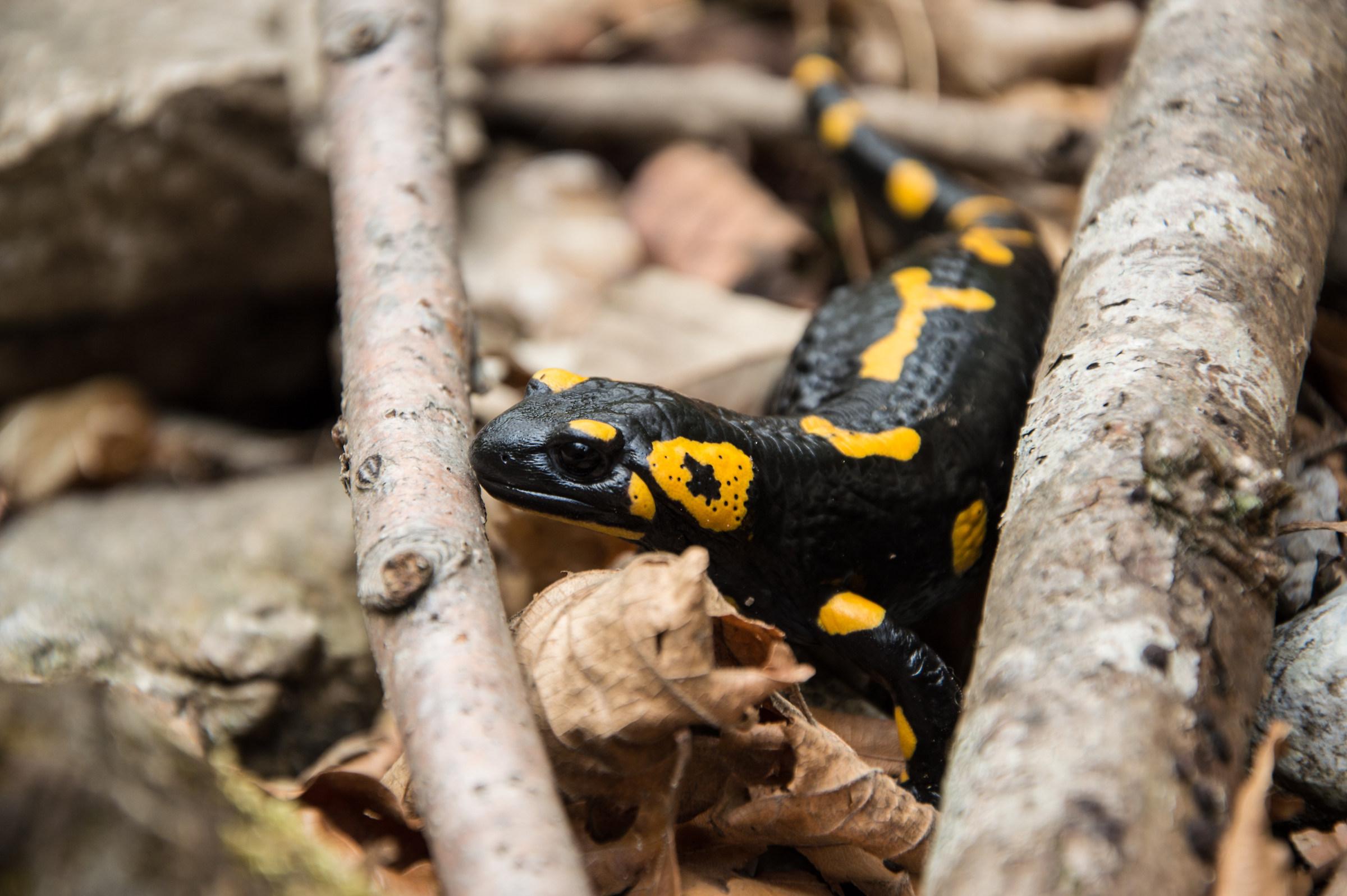 Salamandra...