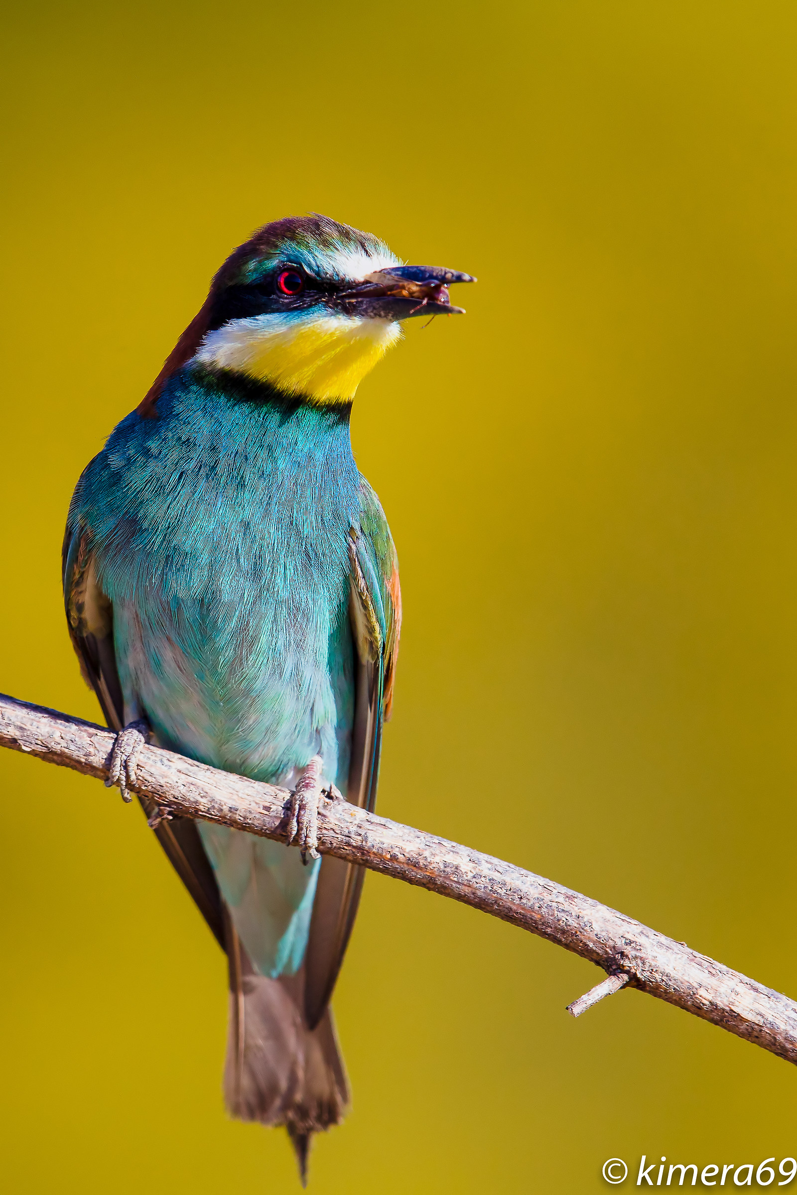 European bee-eater...