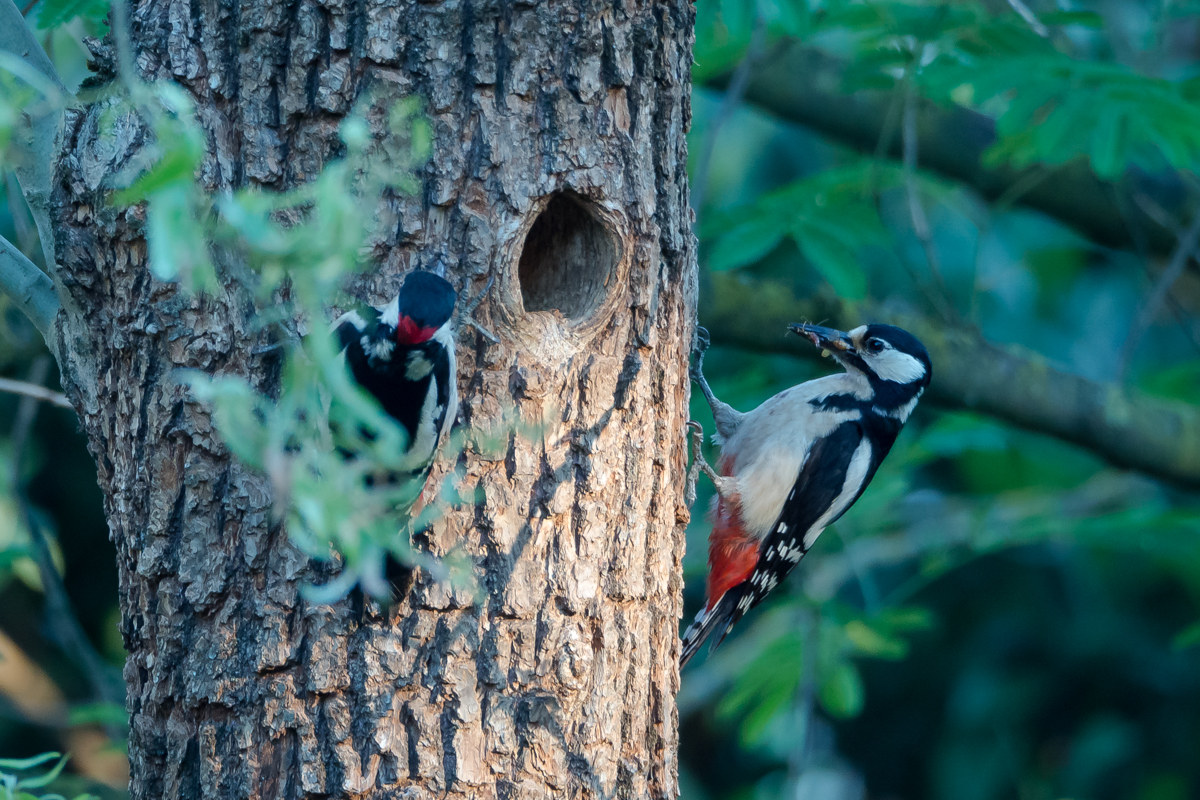Mom and Dad woodpecker...