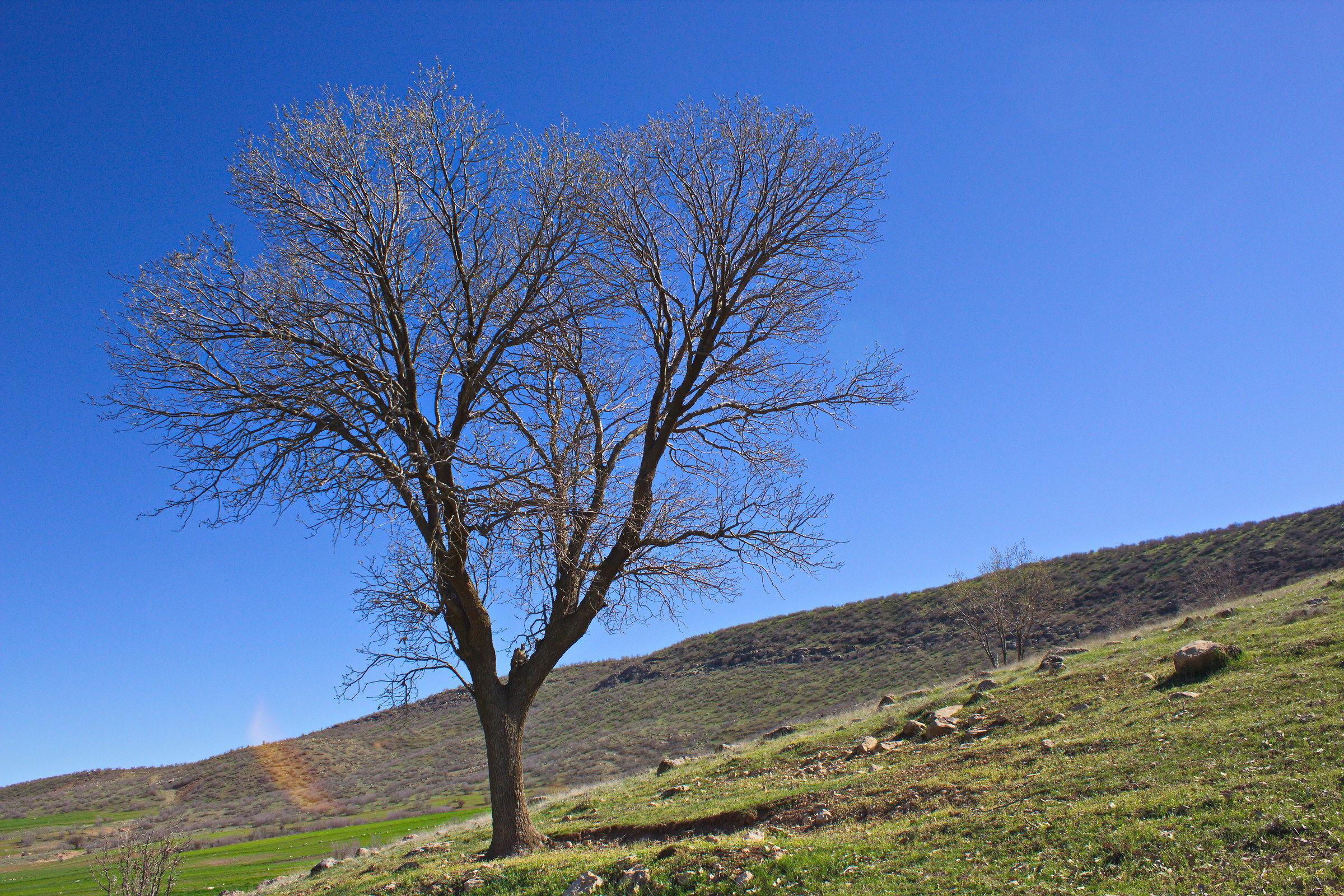 oak Tree...