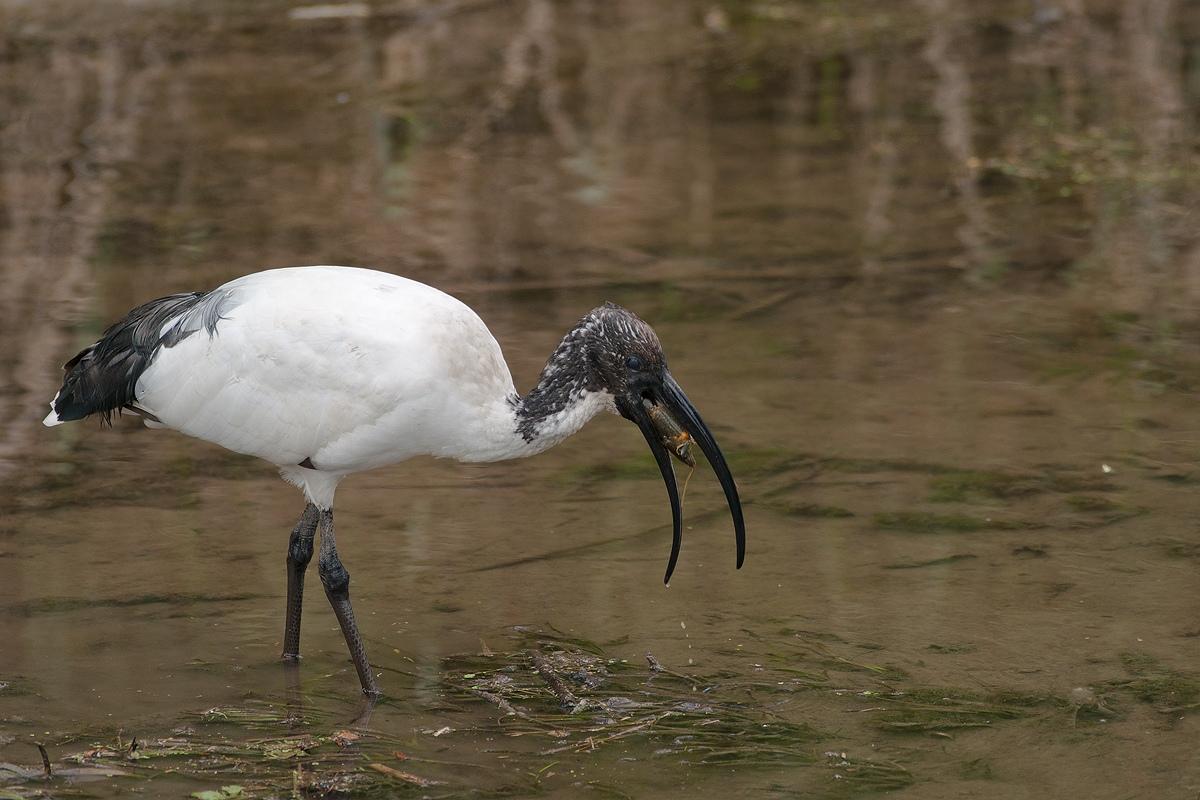 ibis...