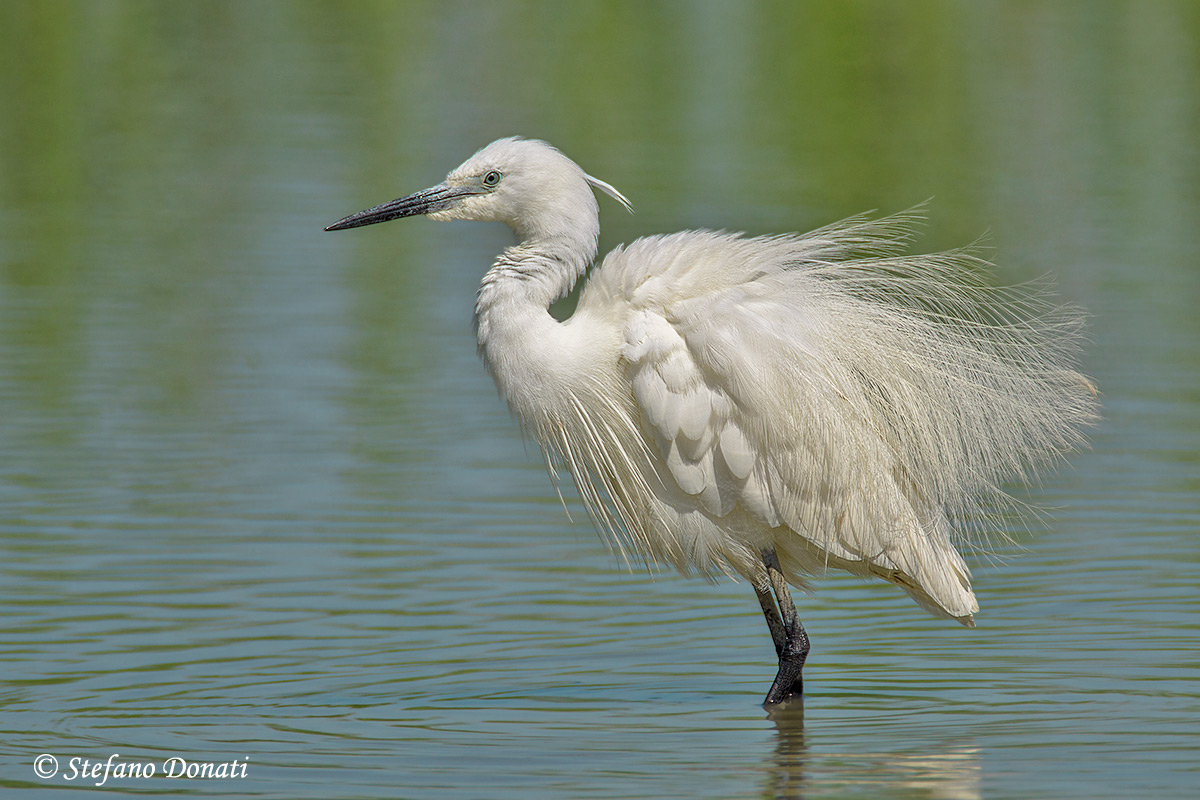 Egret ruffled...