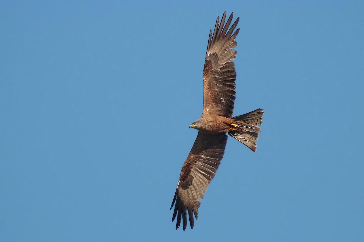 Black kite with good light...