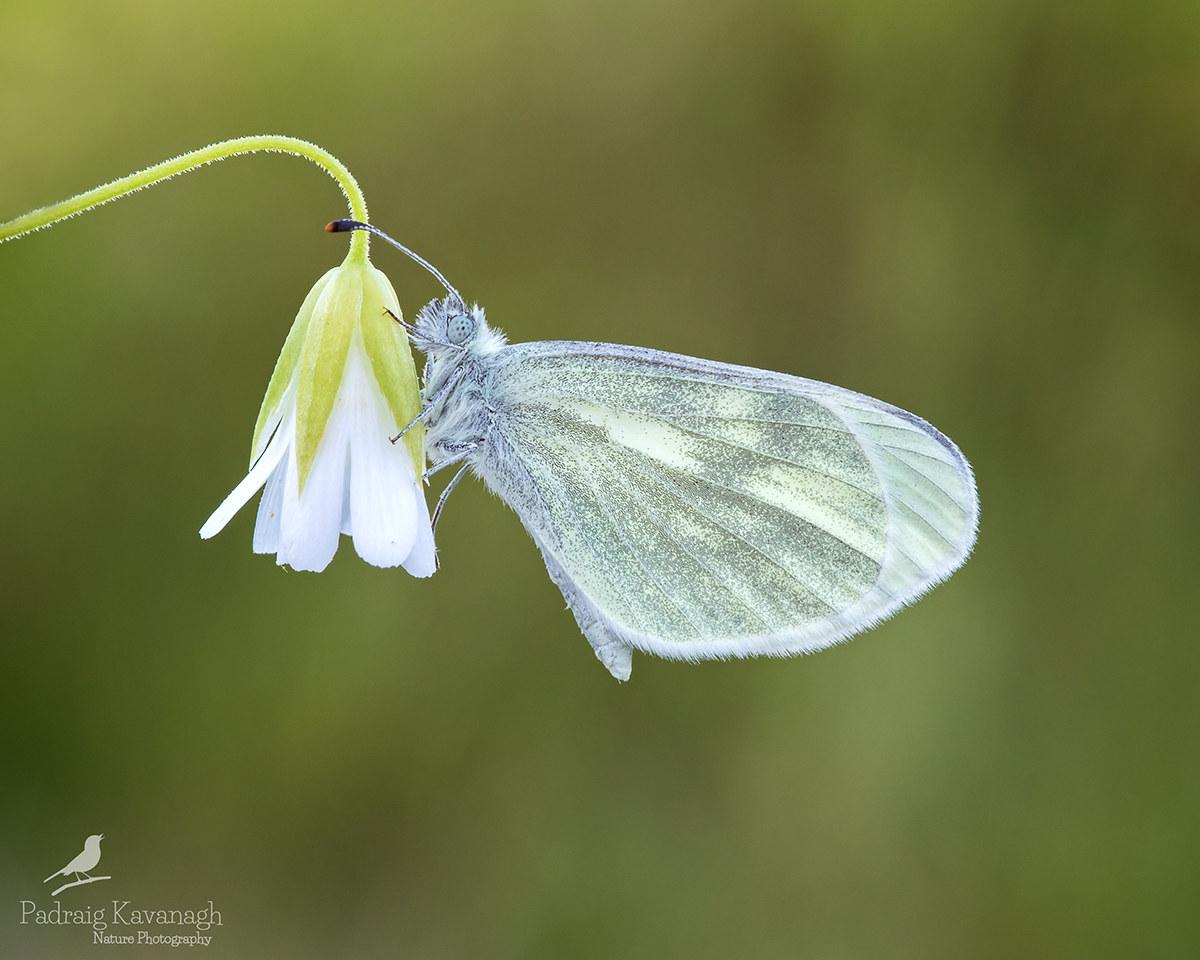 Cryptic Legno Bianco (Leptidea juvernica)...