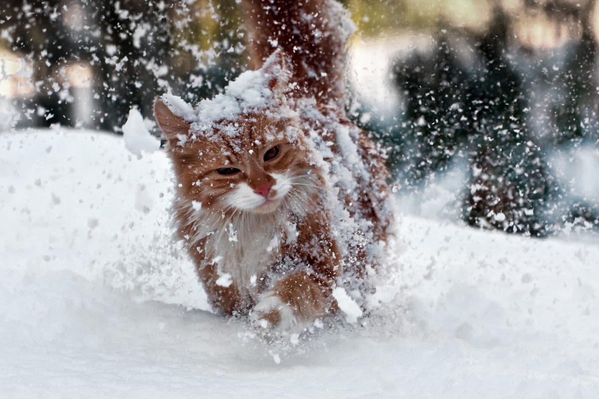 Gatto Delle Nevi Animale Gatto Delle Nevi
