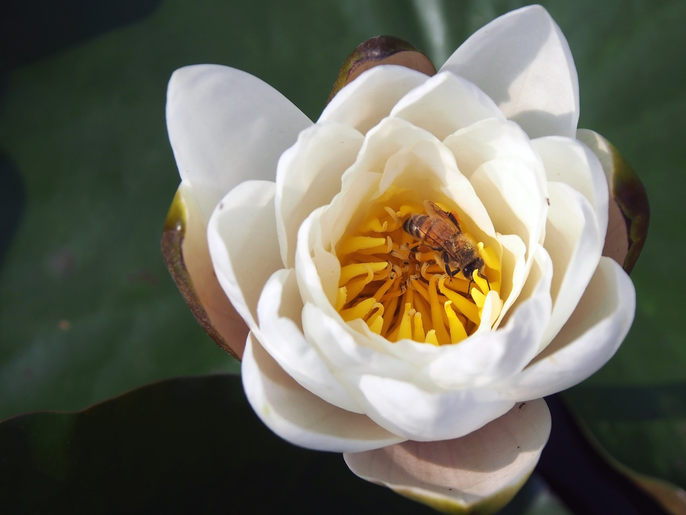 White water lily with bee...
