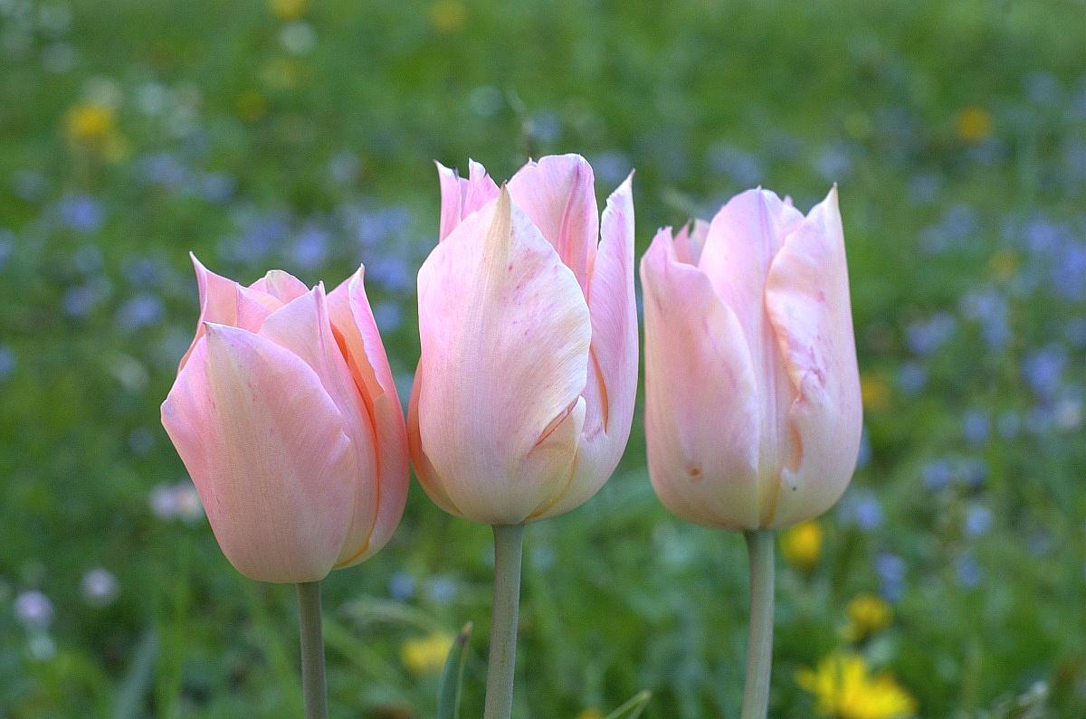 Tulipani Rosa...