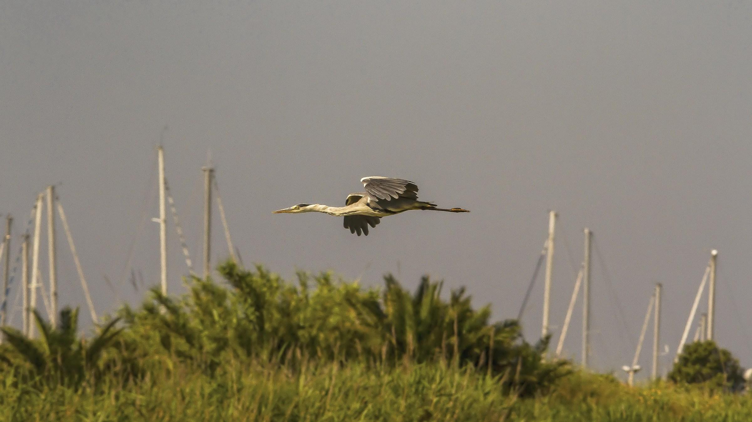 The Flight of the Heron Grey...
