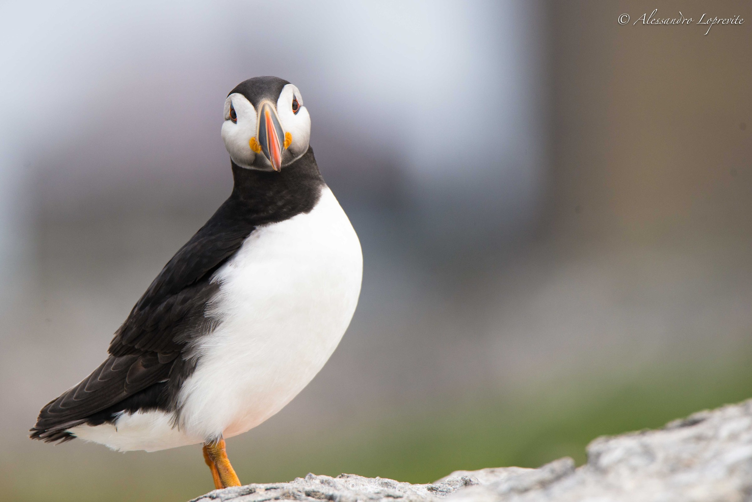 First Puffin...