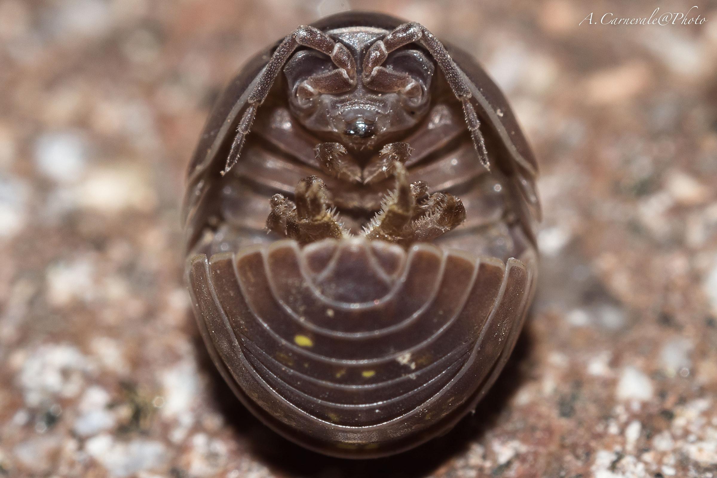 Lord Fenner (Armadillidium vulgare)...